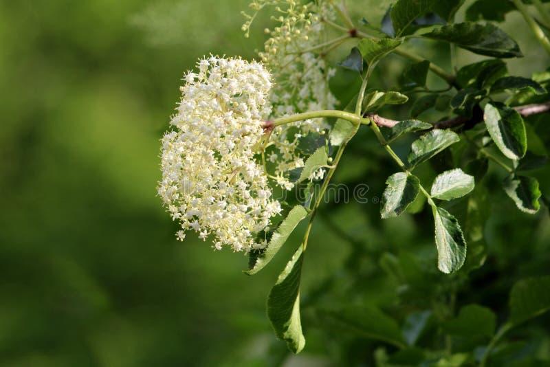 Vlierbes of Sambucus of Oudere boom grote cluster van kleine witte die bloemen met takken en bladeren in lokale tuin worden omrin stock foto