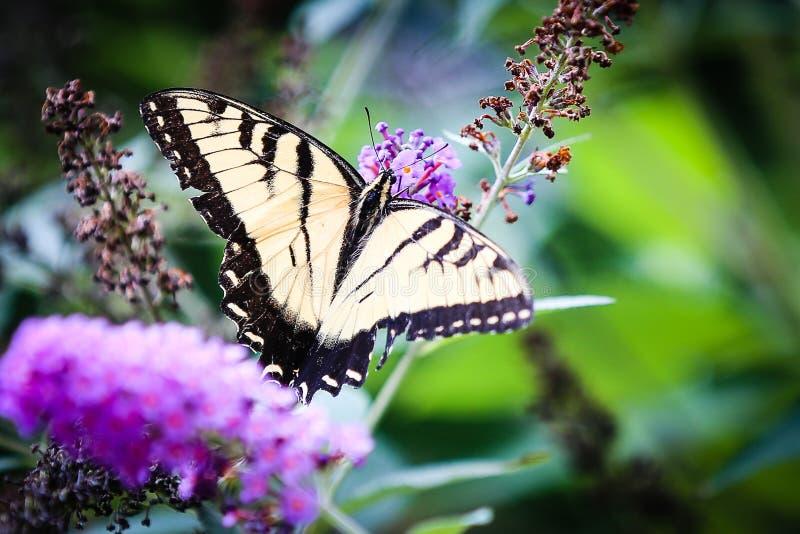 Vlinder stock afbeelding