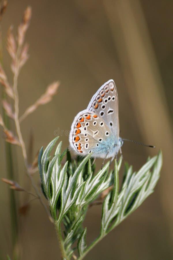 Vlinder #5 stock foto