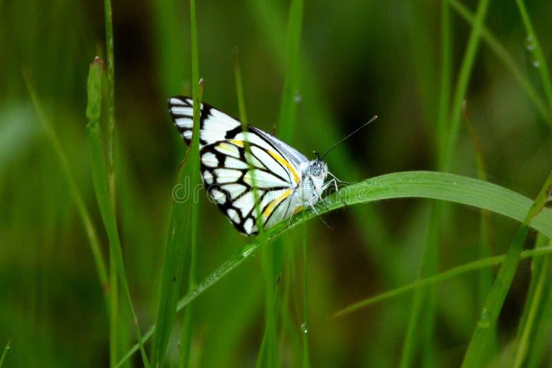 Vlinder in Afrika royalty-vrije stock afbeeldingen