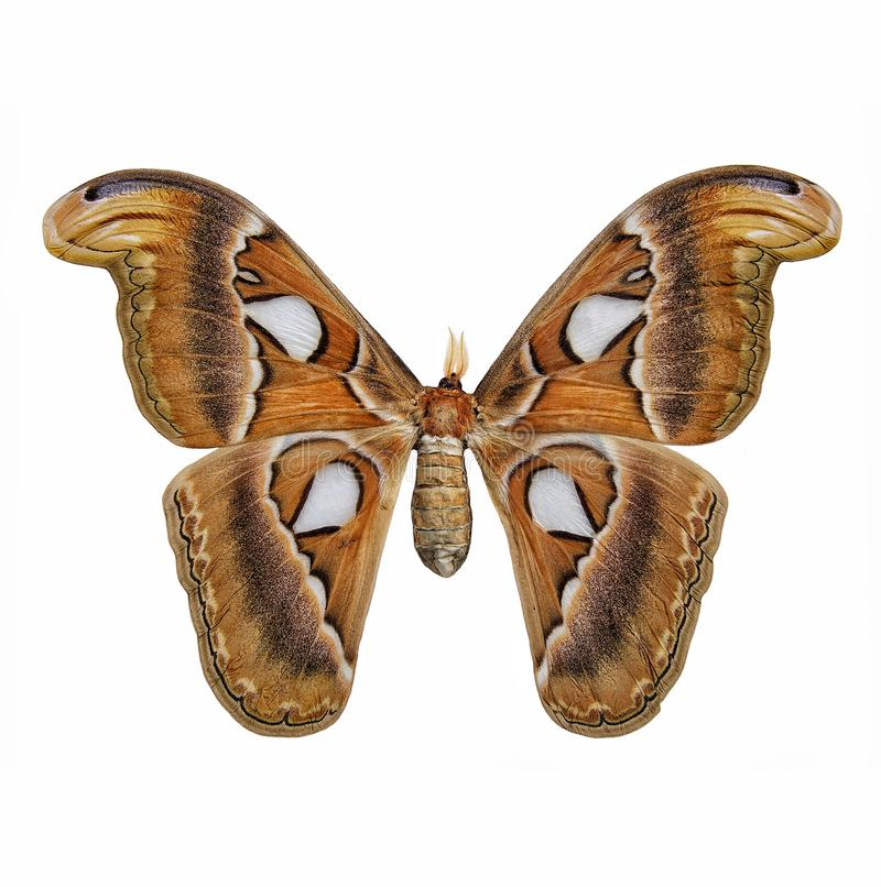 Vlinder: Atlasmotten stock afbeeldingen