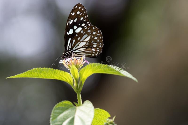 Vlinder - Blauwe Tijger royalty-vrije stock foto's