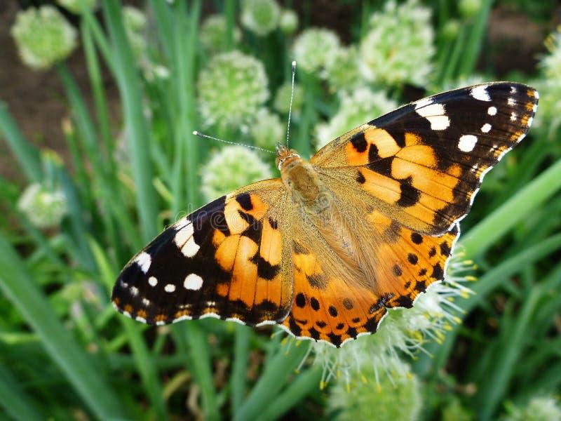 Vlinder in bloemen van de groene ui stock afbeeldingen