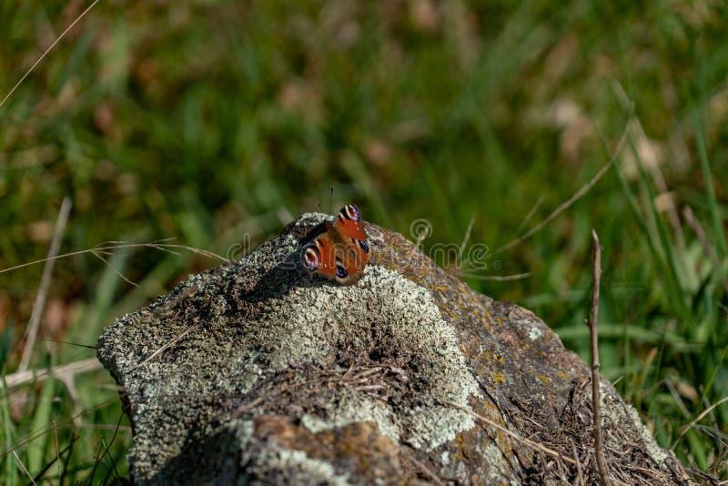 Vlinder in de lente stock afbeelding