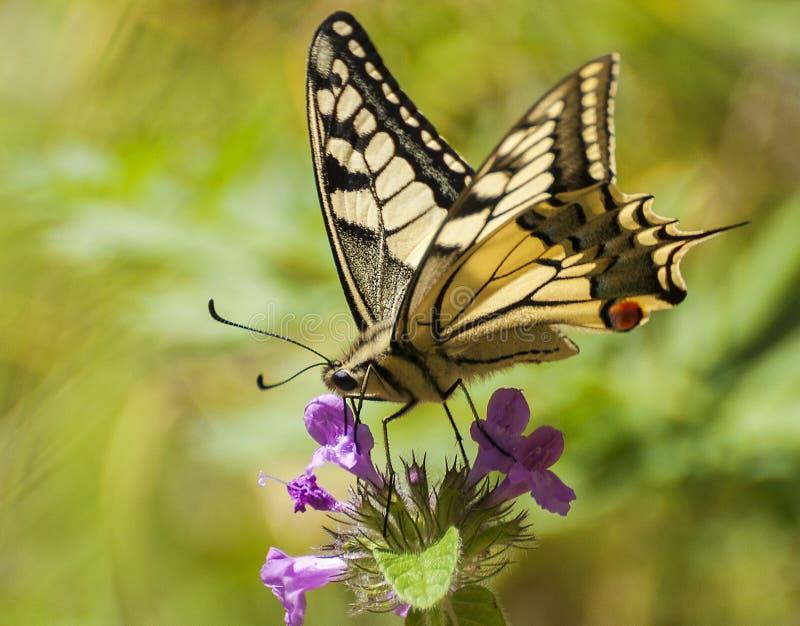Vlinder in de tuin in een zonnige dag stock foto