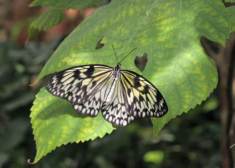 Download Vlinder (de Vlieger Van Het Document) Op Een Groen Blad Stock Foto - Afbeelding bestaande uit vlinder, breekbaarheid: 10781706