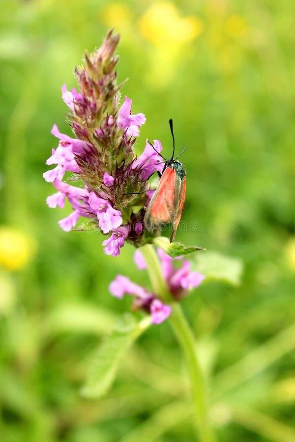 Vlinder die een bloem bestuift royalty-vrije stock afbeelding