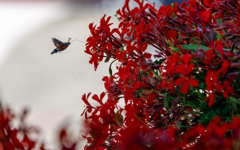 Vlinder die lunch zoeken bij een zeer verse rode bloeseminstallatie op balkon royalty-vrije stock foto