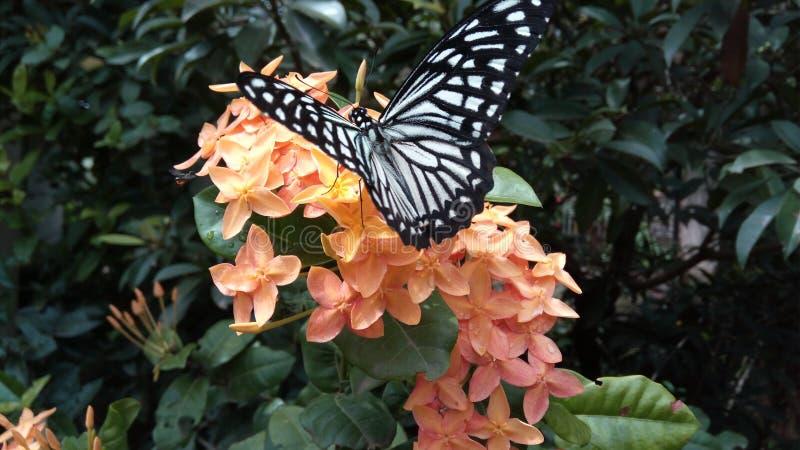 Vlinder die nectar op ixorabloem h hebben royalty-vrije stock afbeeldingen