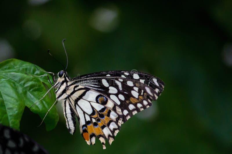 Vlinder die op blad neerstrijken royalty-vrije stock afbeeldingen