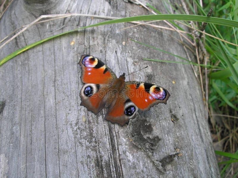 Vlinder die op een logboek rusten stock foto's