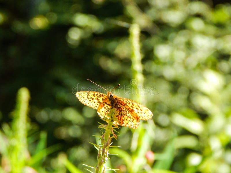 Vlinder die zich op een bloem bevinden royalty-vrije stock afbeeldingen