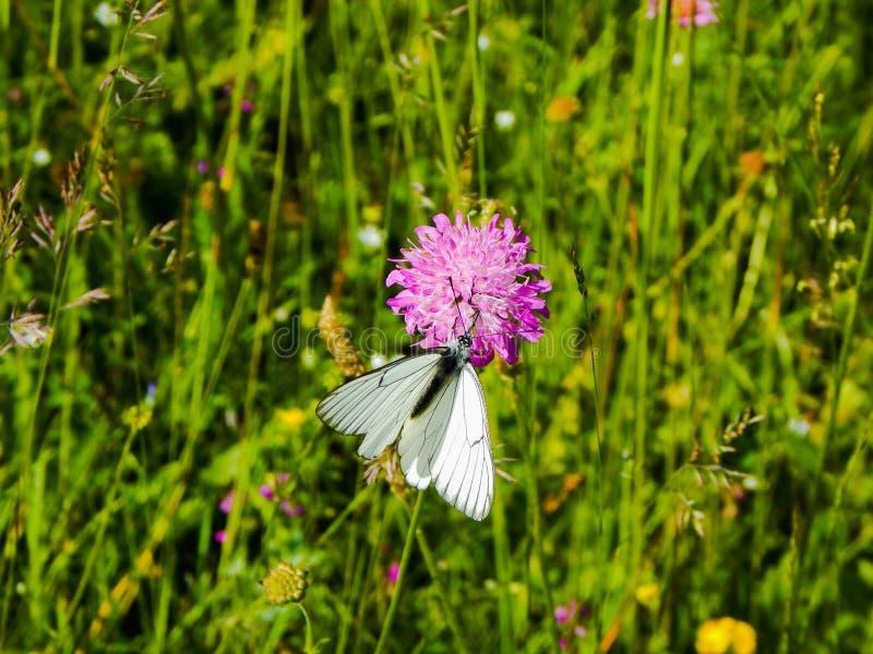 Vlinder die zich op een purpere bloem bevinden stock afbeeldingen