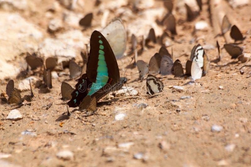 Vlinder die Zoute likken op grond eten royalty-vrije stock foto