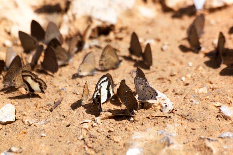 Vlinder die Zoute likken op grond eten royalty-vrije stock afbeelding