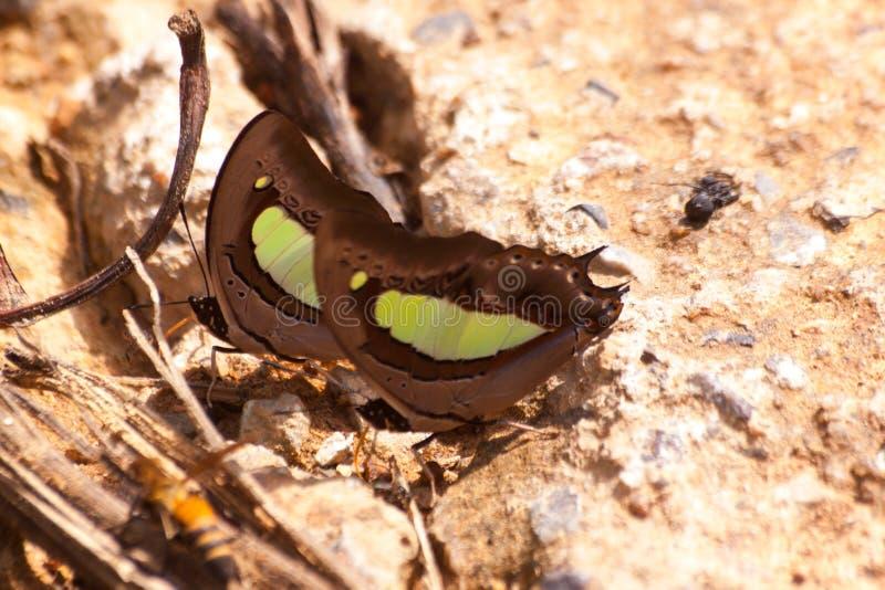 Vlinder die Zoute likken op grond eten stock foto