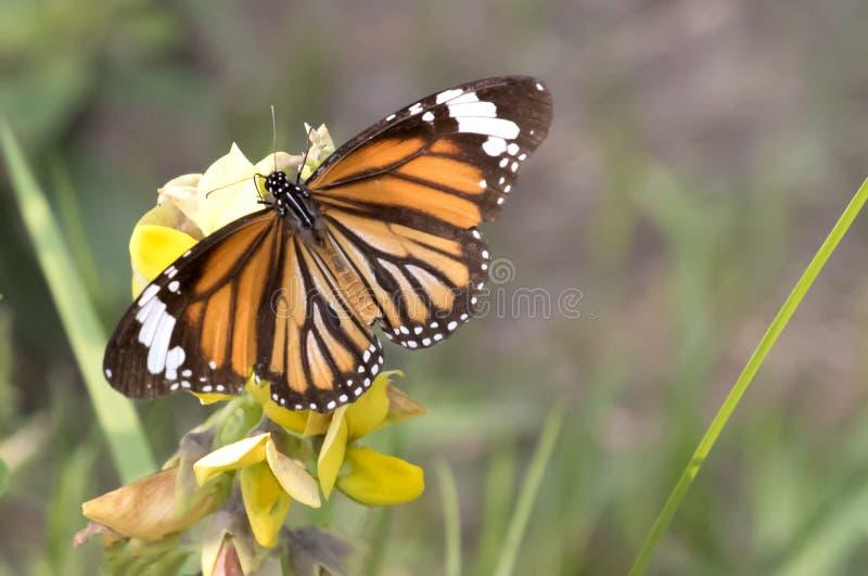 Vlinder - Duidelijke Tijger stock afbeelding