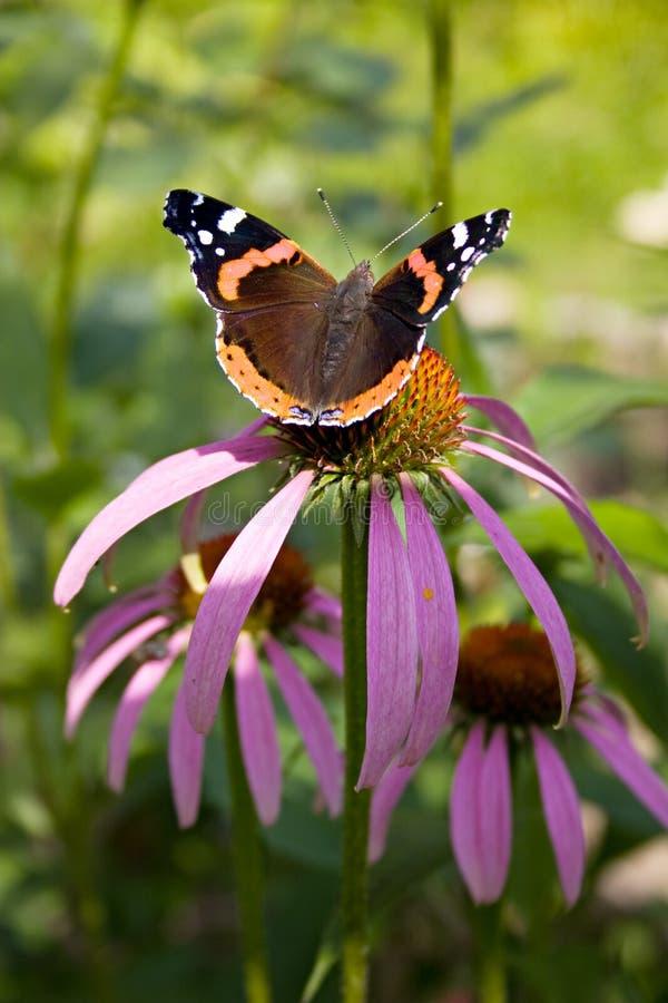 Vlinder in een bloem. stock afbeeldingen