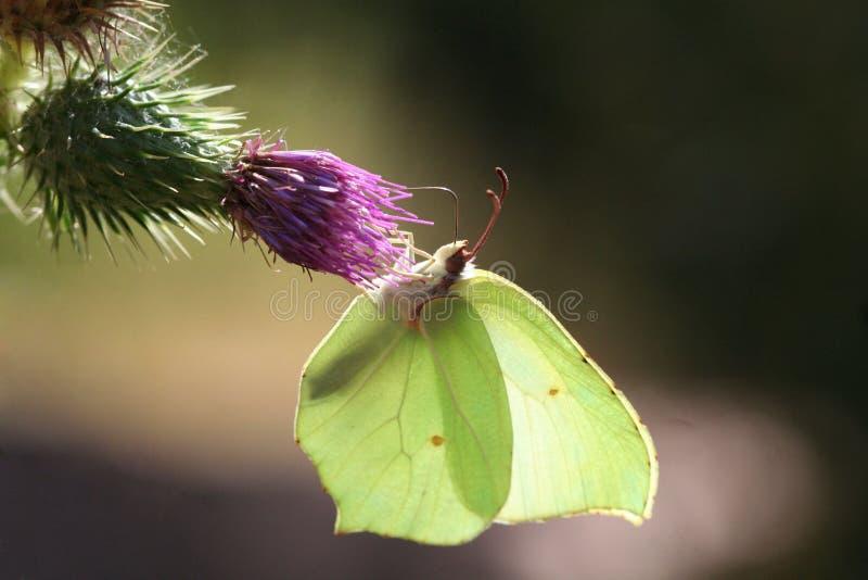 Vlinder in een bloem met zon backlight stock afbeeldingen