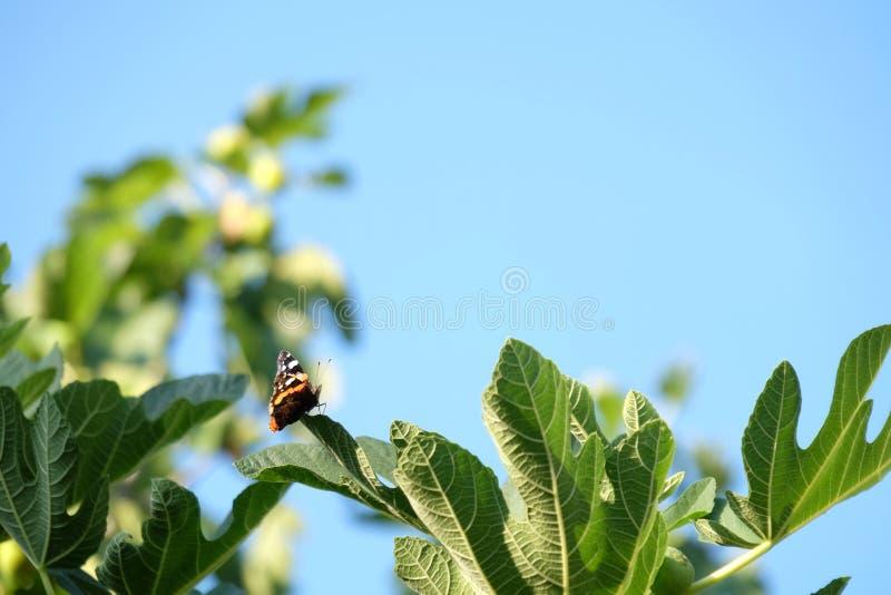 Vlinder in een vijgeboom royalty-vrije stock afbeelding