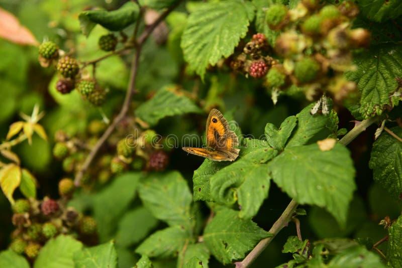 Vlinder en braambes royalty-vrije stock foto