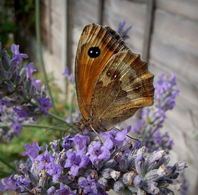 Vlinder in Engelse Tuin royalty-vrije stock foto's