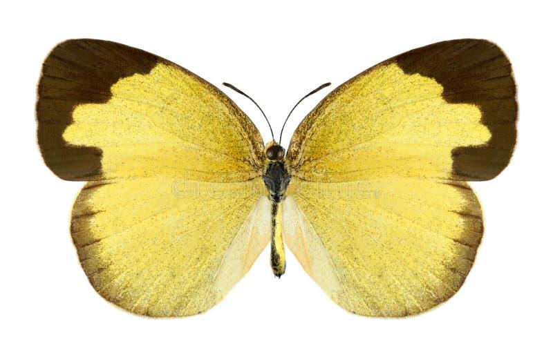 Vlinder Eurema hecabe (wijfje) royalty-vrije stock afbeelding