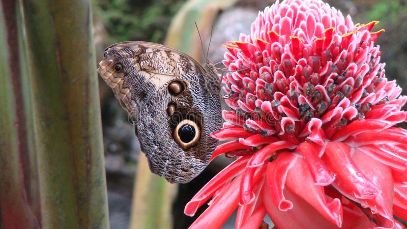 Vlinder in Florwer, Mariposario Honduras stock foto