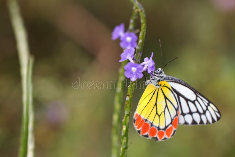 Vlinder, Gemeenschappelijke eucharis van Jazebel Delias - Close-up royalty-vrije stock foto's