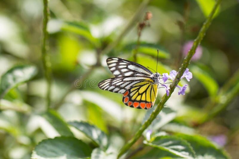 Vlinder, Gemeenschappelijke Jazebel - Delias-eucharis in Colombo Sri Lanka royalty-vrije stock afbeelding