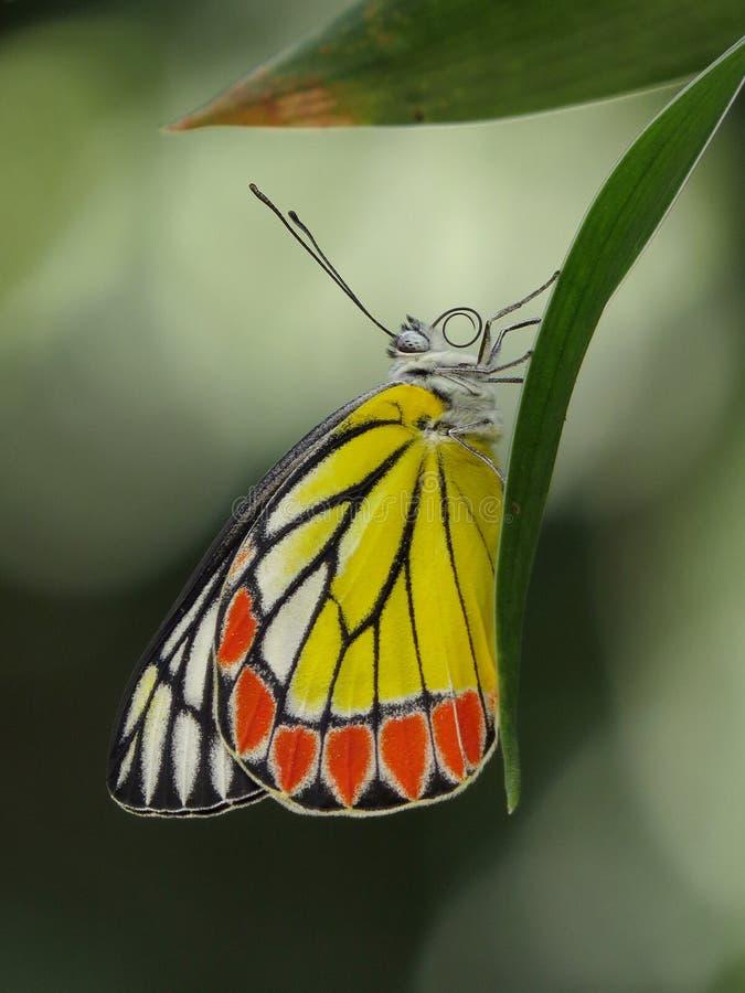 Vlinder - Gemeenschappelijke Jezebell stock foto
