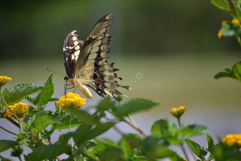 Vlinder in gezicht stock fotografie