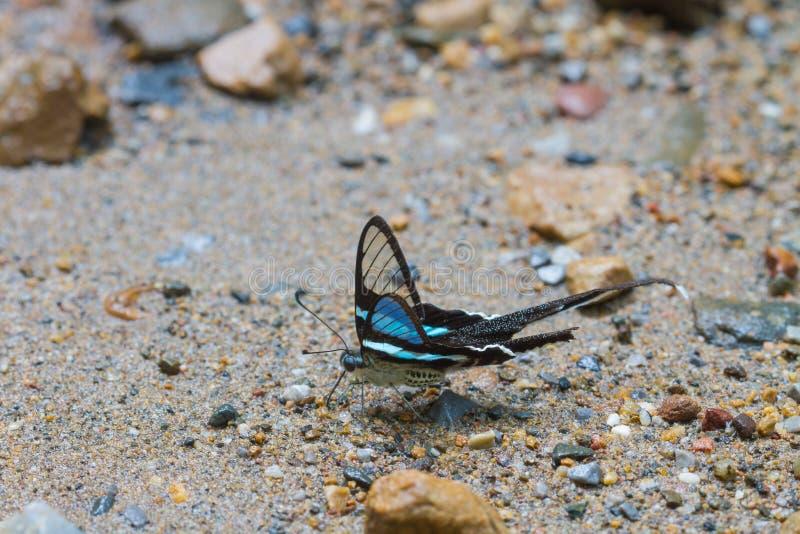 Vlinder, Groene Dragontail, Lamproptera meges stock foto
