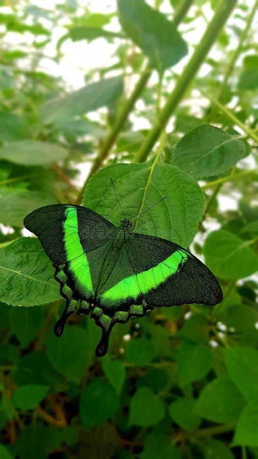Vlinder in groene lowi van kleurenpapilio of Karmozijnrode Mormoon royalty-vrije stock foto's