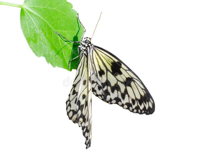 Vlinder (Idee leuconoe). stock fotografie