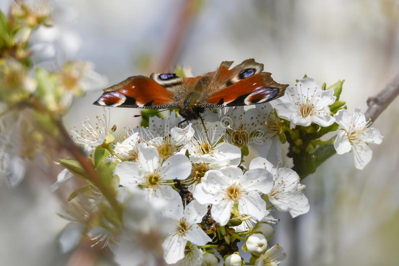 Vlinder inachys io op bloem royalty-vrije stock foto's