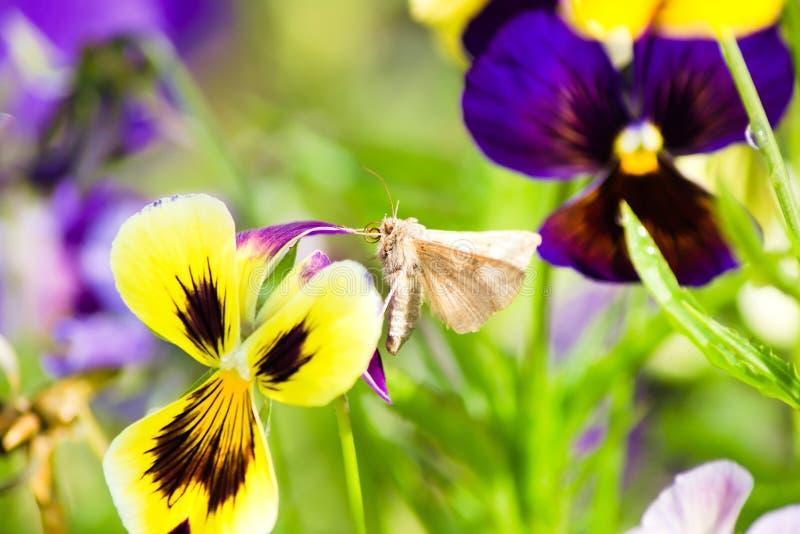 Vlinder katoenen bollworm armigera van Helicoverpa op pansies stock foto's