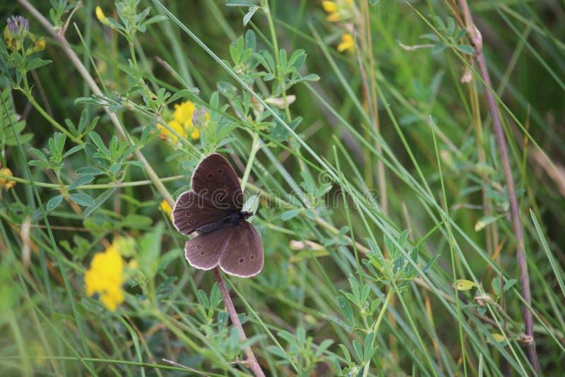 Vlinder, kleine blauwe Cupido-minimus in een de zomerweide stock afbeelding