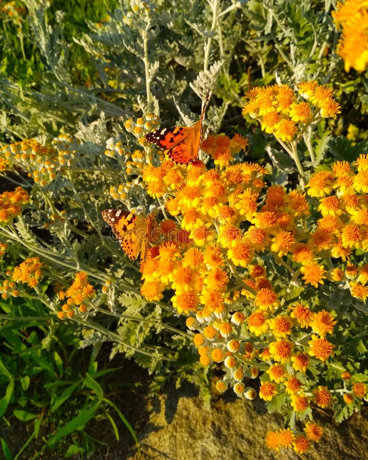 vlinder in kleine gele bloemen royalty-vrije stock foto's