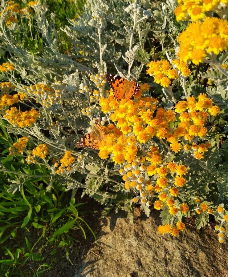 vlinder in kleine gele bloemen stock afbeeldingen