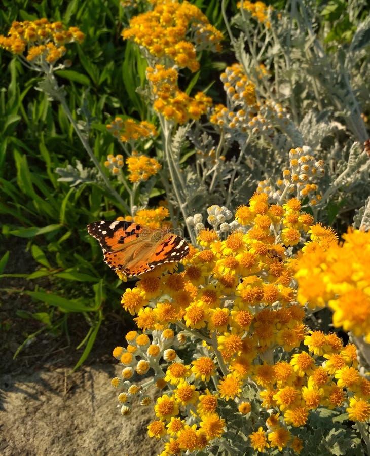vlinder in kleine gele bloemen royalty-vrije stock afbeelding