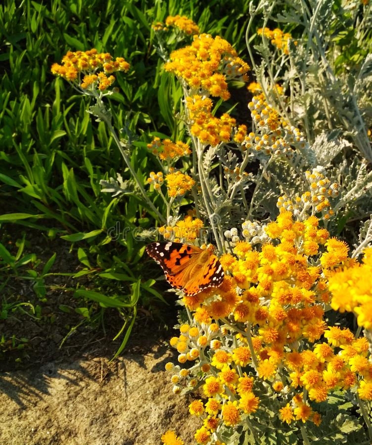 vlinder in kleine gele bloemen stock foto
