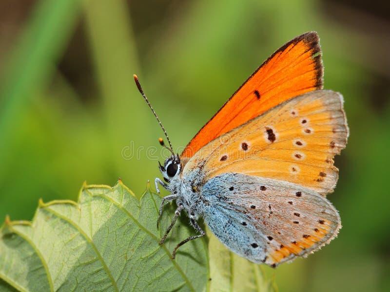 Vlinder - kleiner vurig koper op blad. Macro stock afbeelding