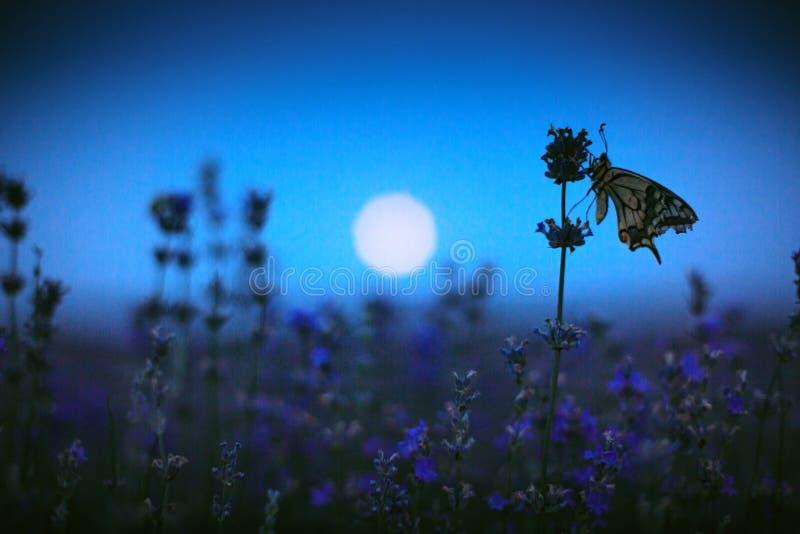 Vlinder in lavendelgebied en maanlicht royalty-vrije stock foto's