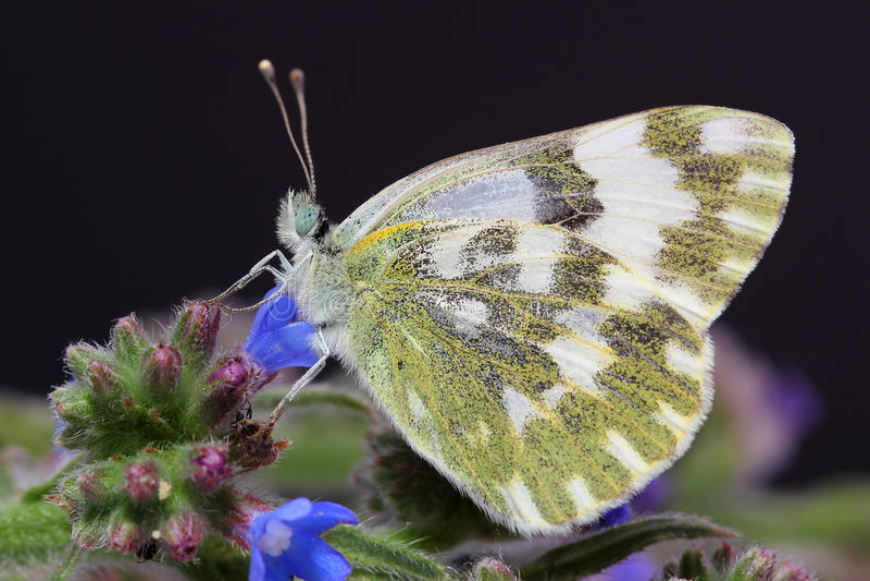Vlinder - Lesser Bath White (Pontia-chloridice) royalty-vrije stock fotografie