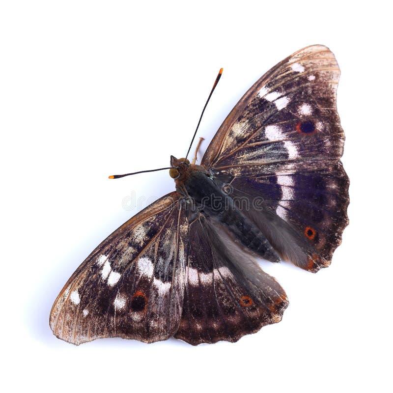 Vlinder - Lesser Purple Emperor (Apatura Ileia) royalty-vrije stock fotografie