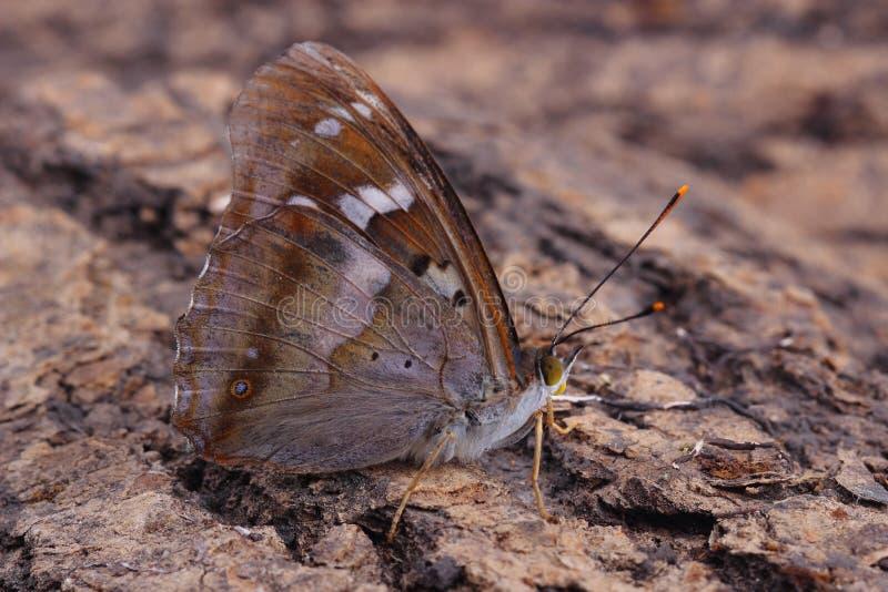 Vlinder - Lesser Purple Emperor (Apatura Ileia) stock foto