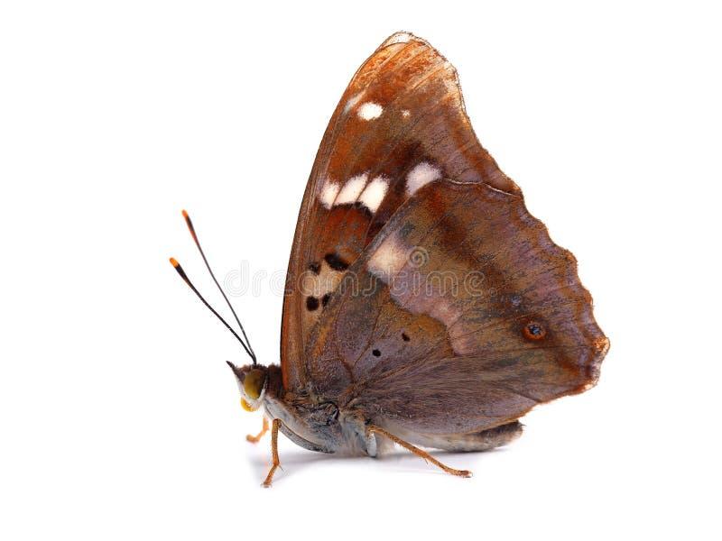 Vlinder - Lesser Purple Emperor (Apatura Ileia) stock afbeeldingen