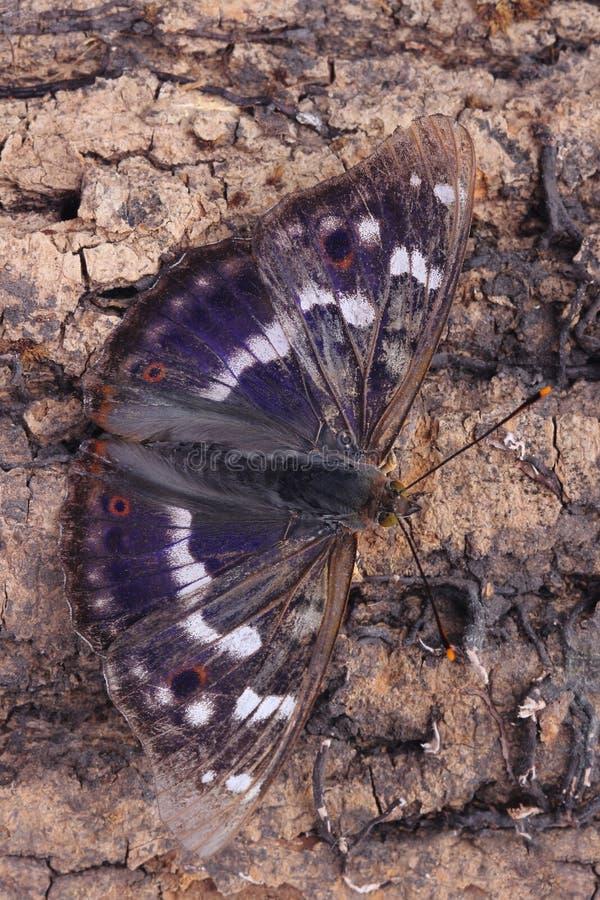 Vlinder - Lesser Purple Emperor (Apatura Ileia) royalty-vrije stock afbeelding