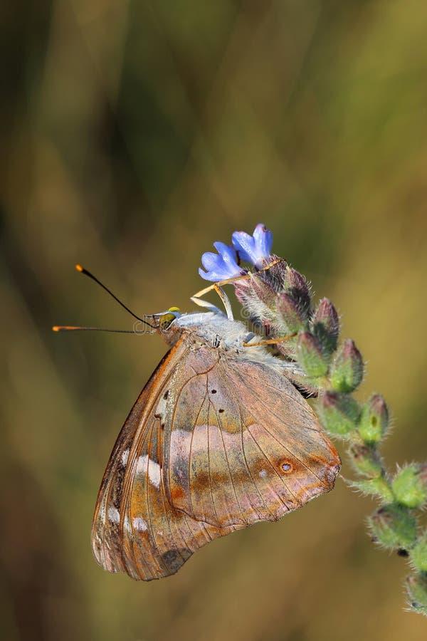 Vlinder - Lesser Purple Emperor (Apatura Ileia) stock fotografie